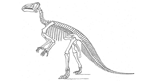 Dinosauria Ornitopod